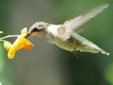 Colibri sur Impatiens capensis